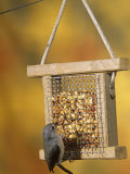 Tufted Titmouse (Parus Bicolor) Feeding at a Nut Feeder  North America
