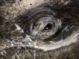 Eye of a Gray Whale  Eschrichtius Robustus  San Ignacio Lagoon  Baja California  Mexico