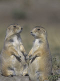 Black-Tailed Prairie Dogs Near the Opening to their Burrow  Cynomys Ludovicianus  Western USA
