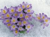 Crocus Flowering in the Snow
