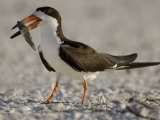 Black Skimmer  Rynchops Niger  with Fish Prey in its Bill  Southern USA
