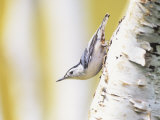 White-Breasted Nuthatch Walking Down a Birch Trunk (Sitta Carolinensis)  North America