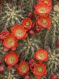 Claret Cup Cactus (Echinocereus Triglochidiatus) Blooming