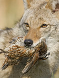 Coyote (Canis Latrans) with Bobwhite Quail Prey in its Mouth  North America