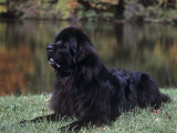 Newfoundland Variety of Domestic Dog