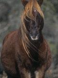 Chincoteague Pony Face  Assateague National Wildlife Refuge  Maryland  USA