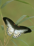 Swallowtail Butterfly (Papilio Polymnestor)  India