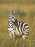 Burchell's or Common Zebra  Equus Burchellii  Masai Mara  Kenya  Africa