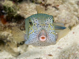 Adult Yellow Boxfish (Ostracion Cubicus) Which Begins Life as a Bright Yellow Juvenile  Malaysia