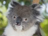 Koala Head (Phascolarctos Cinereus)  Australia