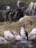A Blue-Footed Booby (Sula Nebouxii)  Galapagos Islands  Ecuador
