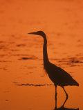 Great Blue Heron Silhouette at Twilight (Ardea Herodias)  North America