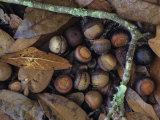 Willow Oak Acorns on the Fall Forest Floor (Quercus Phellos)  Florida  USA