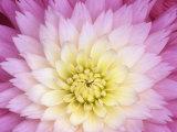 Close Up of a Dahlia Hybrid Flower  Gay Princess Variety