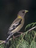 Female Evening Grosbeak  Coccothraustes Vespertinus  Eastern North America