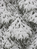 European Silver Fir  Abies Alba  Covered in Snow  Bavarian Forest National Park  Germany  Europe