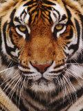 Bengal Tiger Face, Panthera Tigris, Asia Papier Photo par Adam Jones