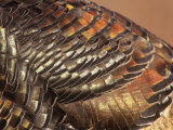 Close-Up of Wild Turkey Feathers  Mealagris Gallopavo  North America