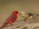 Northern Cardinals  Cardinalis Cardinalis  Food Exchange During the Breeding Season Eastern USA