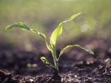 Corn Seedling  Zea Mays