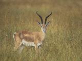 Buck Grant's Gazella  Gazella Granti  Kenya  Africa