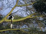 Black and White Colobus Monkey  Colobus Angolensis  Nakuru National Park  Kenya  Africa