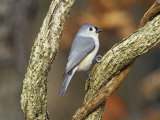 Tufted Titmouse (Baeolophus Bicolor)  Eastern North America