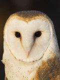 Male Barn Owl (Tyto Alba)  USA