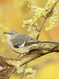 Northern Mockingbird (Mimus Polyglottos)  North America