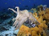 A Broadclub Cuttlefish (Sepia Latimanus)  Komodo  Indonesia