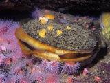 Rock Scallop (Hinnites Giganteus), Pacific Coast of North America Papier Photo par Ken Lucas