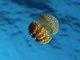 Bell Jellyfish  Phyllorhiza Punctata  Thailand