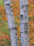 White Birch Forest in Autumn  Betula Papyrifera  Eastern USA