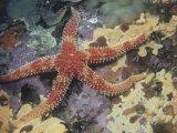 Rainbow Starfish  Orthasterias Koehleri  Pacific Coast of North America