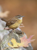 Carolina Wren (Thryothorus Ludovicianus)  South Carolina State Bird USA