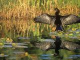 Anhinga Drying its Wings  Anhinga Anhinga   Note its Reflection in the Marsh Pond Southern USA