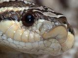 Mexican Hognose Snake  Heterodon Nasicus Kennerlyi