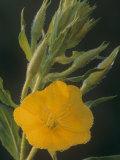 Evening Primrose  Oenothera Biennis  with Dew  USA