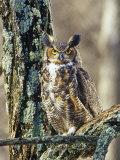 Great Horned Owl (Bubo Virginianus)  North America