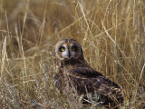 Short-Eared Owl (Asio Flammeus) Standing in Low Vegetation  Colorado  USA