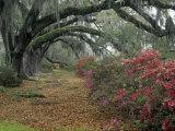 Live Oaks  Quercus Virginiana  and Azaleas  Magnolia Plantation