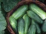 Cucumber Harvest in a Basket  Fancipak Variety (Cucumis Sativus)