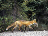 Red Fox (Vulpes Vulpes) with Ground Squirrel Prey in its Mouth  North America