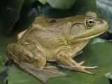 Bullfrog (Rana Catesbeiana) on a Lily Pad  North America