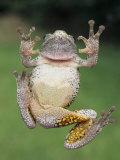 A Gray Tree Frog  Pads Visible