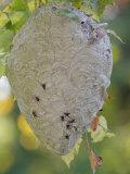Bald-Faced Hornet Hive