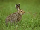 Snowshoe Hare in In its Brown Summer Fur  Lepus Americanus  North America