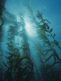 Giant Kelp Forest  Macrocystis Pyrifera  Central California  USA