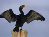 Double-Crested Cormorant Drying its Wings    Phalacrocorax Auritus
