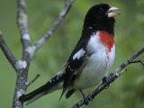 Rose-Breasted Grosbeak Singing  Pheucticus Ludovicianus   Eastern USA